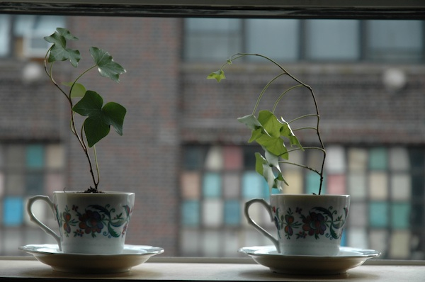 tea-plants.jpg